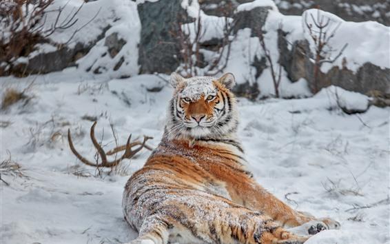 Papéis de Parede Olhar do tigre para trás, neve, inverno