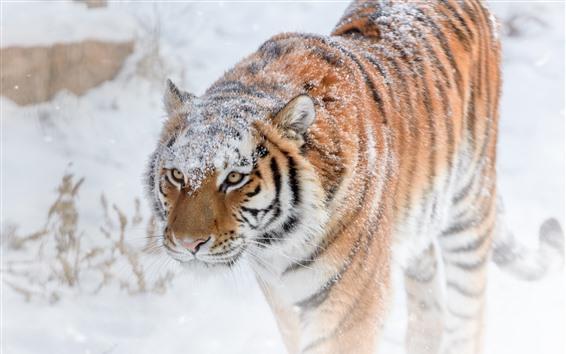 Fondos de pantalla Tigre caminando, nieve, invierno.