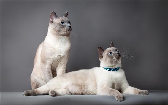 Papéis de Parede Dois gatos bonitos, olhos azuis, fundo cinzento