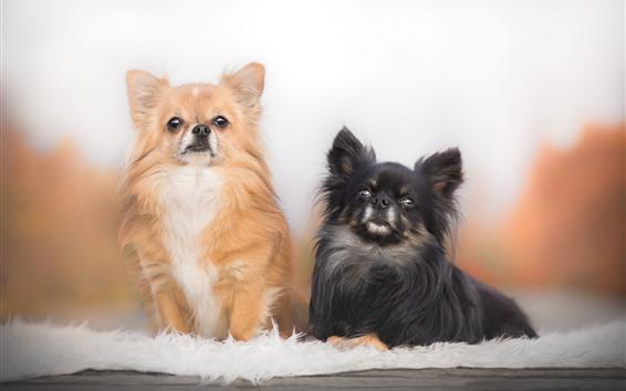 Fondos de pantalla Dos perros, Chihuahua