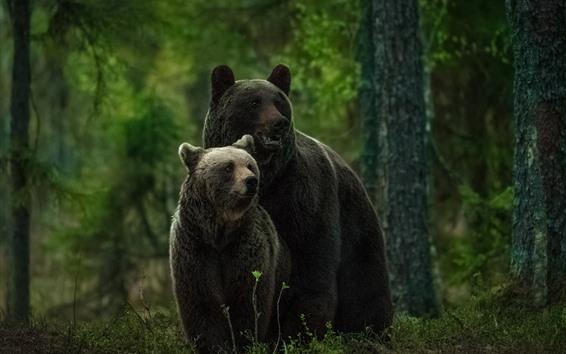 壁紙 2つの灰色のクマ、見て、森