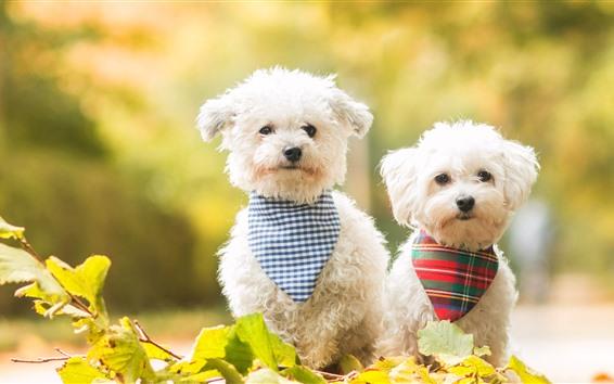 Fondos de pantalla Dos perros blancos, hojas verdes