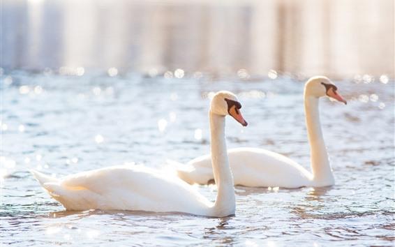 Wallpaper Two white swans, pond, shine, glare