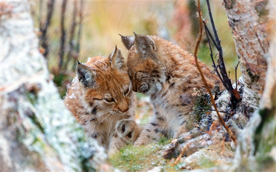 Обои Две дикие кошки, рысь, снег