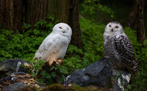 Wallpaper White and gray owls, forest