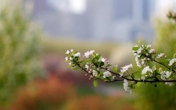 배경 화면 흰색 사과 꽃 피어싱, 봄, 나뭇 가지