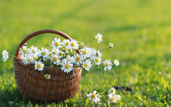 Wallpaper White chamomile, basket, green grass, summer