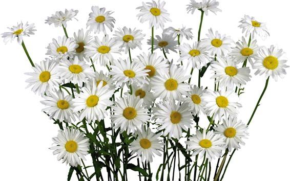 Wallpaper White chamomile flowers, white background