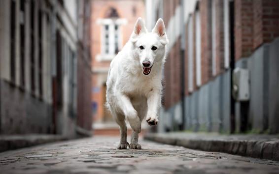 Wallpaper White dog running, street, city