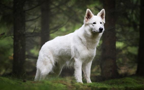 배경 화면 흰 개,있어, 봐.