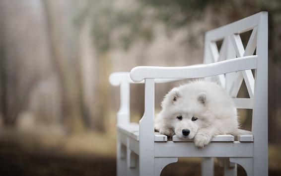 Papéis de Parede Cão branco, cadeira branca