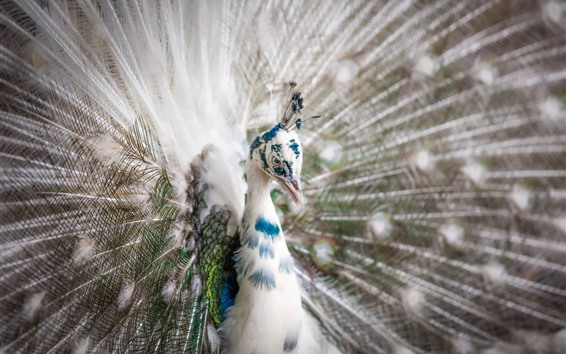 Wallpaper White feather peacock, tail opened