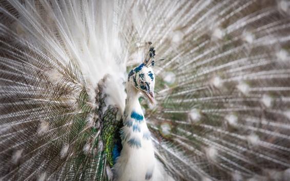 Обои Белый павлин с перьями, открытый хвост