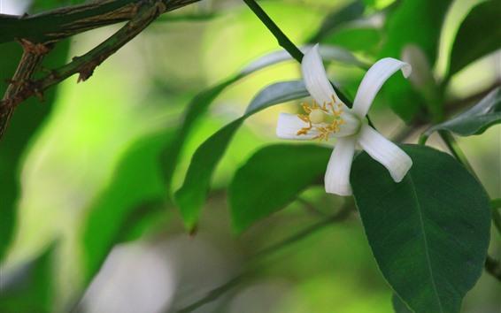 Wallpaper White flower, petals, green leaves