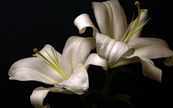 Wallpaper White lilies, black background