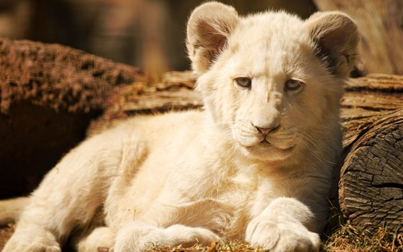 Wallpaper White lion cub, front view
