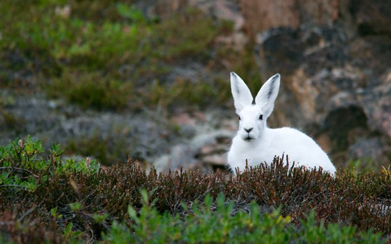 Wallpaper White rabbit, grass, plants