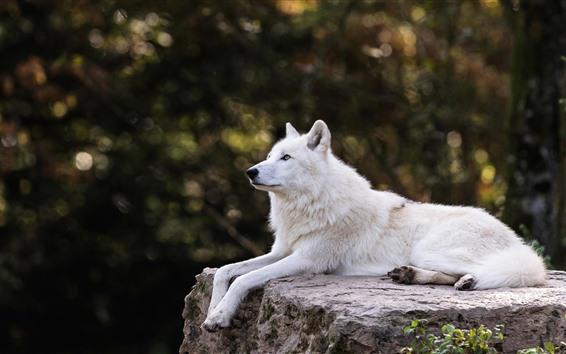 Fondos de pantalla El lobo blanco descansa, quédate, brumoso