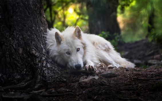Fondos de pantalla Lobo blanco duerme, mira, bosque