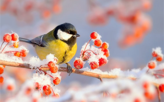 Wallpaper Winter, tit, bird, red berries, snow