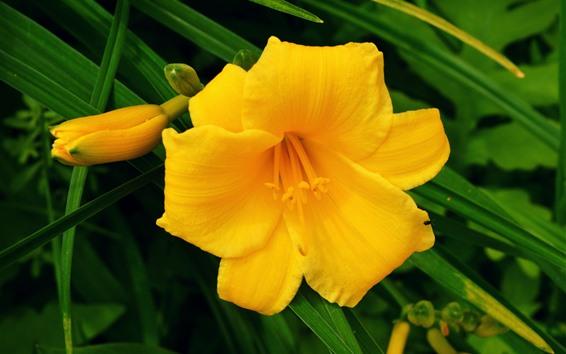 배경 화면 노란색 옥 잠 화 꽃