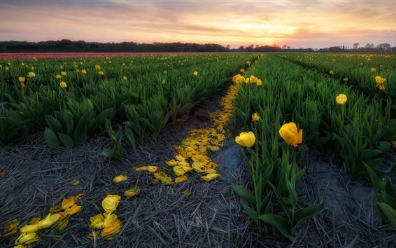 Fondos de pantalla Campo de tulipanes amarillos, pétalos, puesta de sol