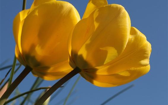 Wallpaper Yellow tulips, flowers close-up, petals