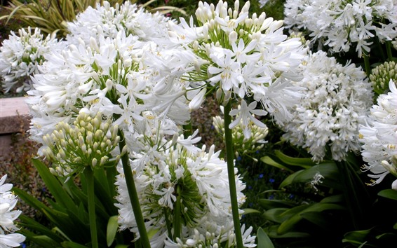 Fondos de pantalla Agapanthus, flores blancas.