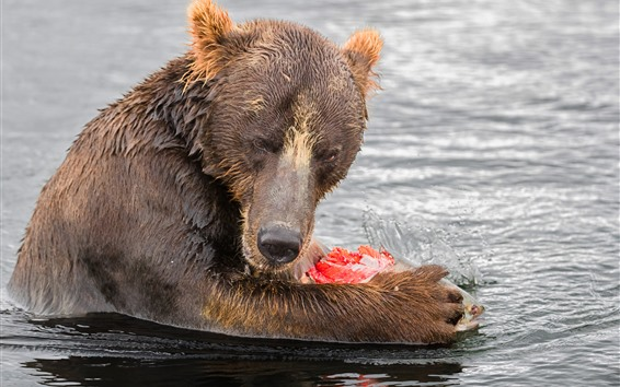 Wallpaper Bear eat fish, water