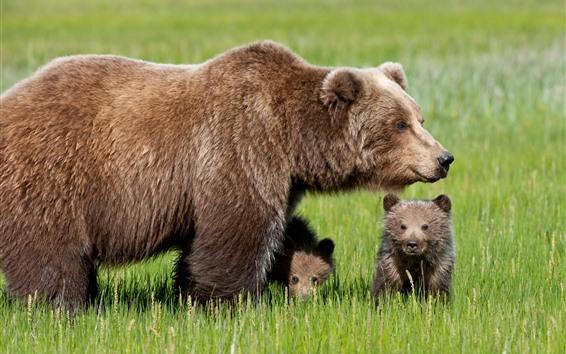 Wallpaper Bear family, mother and cub, green grass