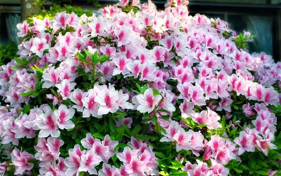 배경 화면 아름 다운 진달래, 분홍색 꽃