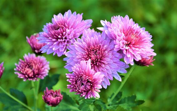 Papéis de Parede Crisântemo rosa lindo, fundo verde