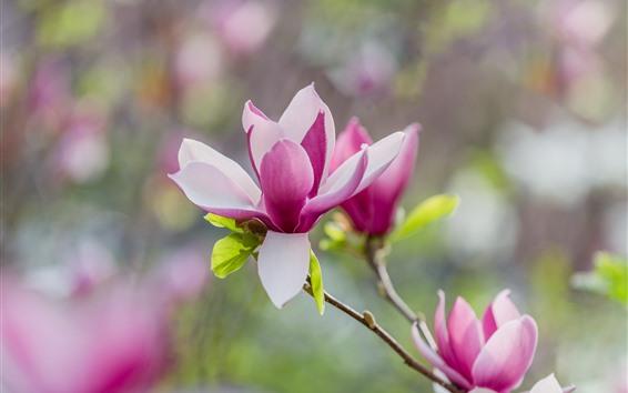 Papéis de Parede Flor de rododendro rosa linda, Primavera