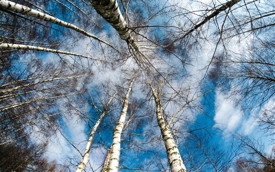 Wallpaper Birch, trees, sky, from bottom view
