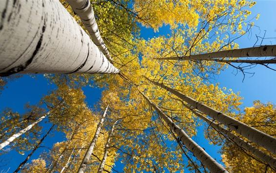 Fondos de pantalla Abedul, árboles, hojas amarillas, cielo azul, otoño