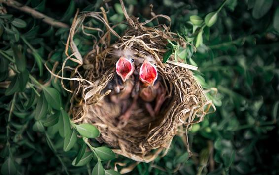 桌布 鳥寶寶,餓了,窩