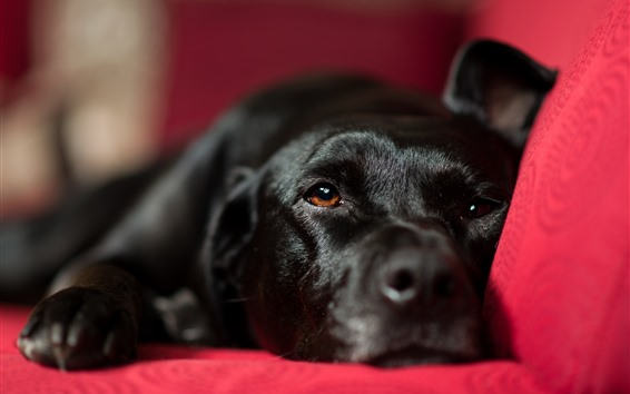 Wallpaper Black dog rest, red chair