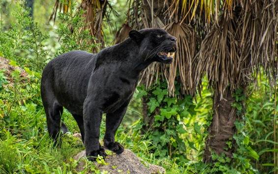 Wallpaper Black panther, teeth, wildlife