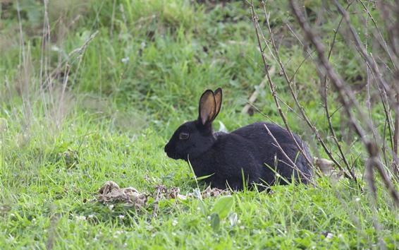 Обои Черный кролик, трава