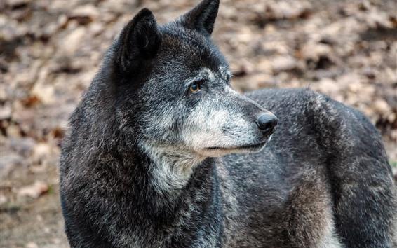 Fondos de pantalla Lobo negro mira hacia atras