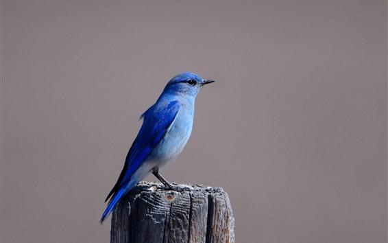 Fondos de pantalla Pájaro azul, tocón