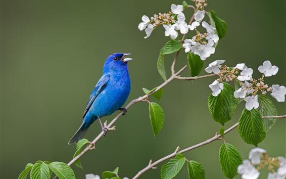 Fondos de pantalla Pájaro azul, flores blancas.