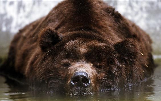 Papéis de Parede Banho de urso-pardo na água, vista frontal