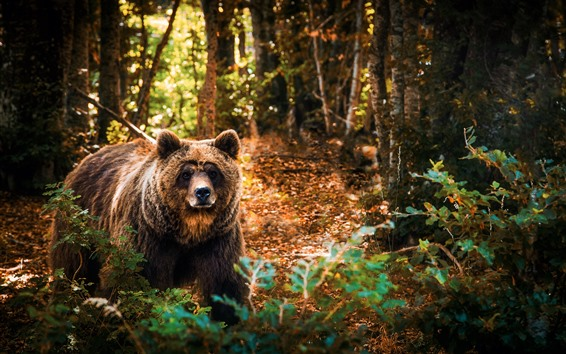 Papéis de Parede Urso pardo na floresta, sol