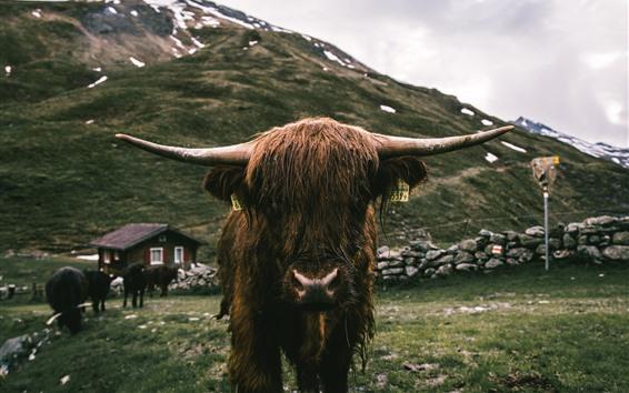 Papéis de Parede Vista frontal de touro, chifres, molhado