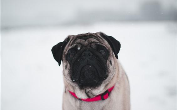 Fondos de pantalla Bulldog, nieve, invierno, fondo blanco