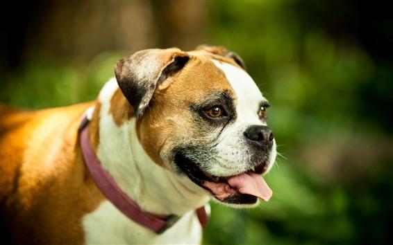 Fondos de pantalla Bulldog, lengua