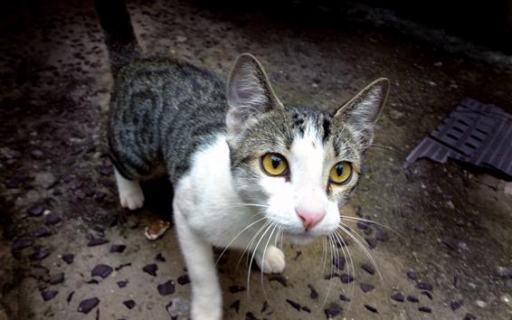 Fondos de pantalla Gato te mira, ojos amarillos.