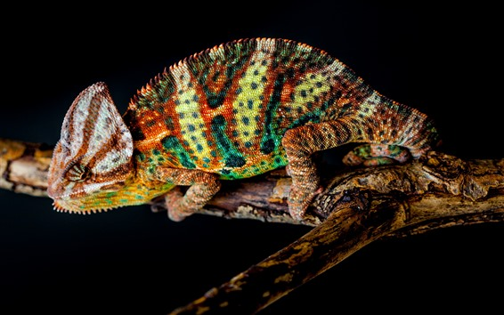 Wallpaper Chameleon, beautiful colors, black background