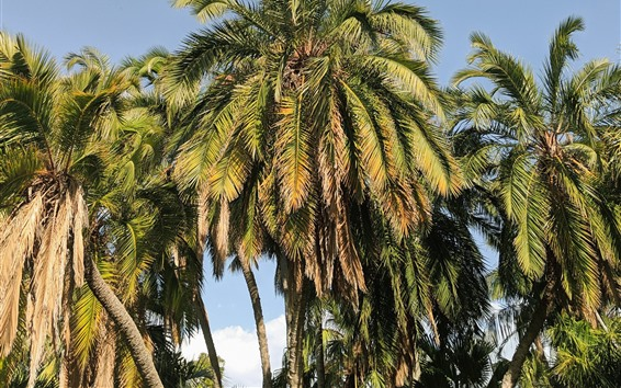 Fondos de pantalla Cocoteros, cielo, tropical.